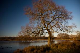 Tree. Richmond Park