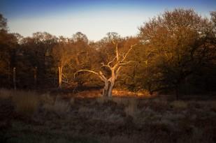 Chosen tree at Richmond Park